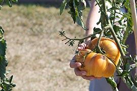 Parmi toutes les variétés de tomates, il y en a des toutes petites... et aussi des grosses. Très grosses et pourtant si odoriférentes !