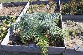 Ici un cardon : une plante herbacée bisannuelle de la famille des Astéracées, cultivée comme plante potagère pour ses «côtes» charnues (le pétiole et la nervure principale développée des feuilles) consommées comme légume.