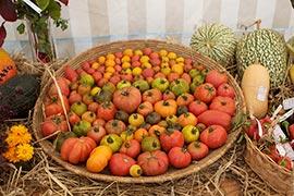 Frédéric Lamblin peut être fier de ses 120 variétés de tomates, de toutes les tailles, de toutes les formes et de toutes les couleurs, du jaune d'or au rouge profond...