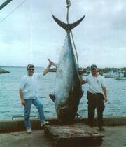 le bluefin géant (ou thon à nageoires bleues), qui peut atteindre 3 mètres et peser jusqu'à 800 kg. Le nec plus ultra des 500 000 tonnes de poisson cru que le Japon consomme chaque année