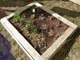 inauguration de l'ENR - Et voici les plantation des enfants. L'automne aura-t-il raison de ces tomates ?