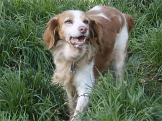 Alain a perdu sa petite épagneule de 7 ans. Il cherche une nouvelle amie, une petite chienne épagneule breton de 7 ans pour l'accompagner dans ses promenades.