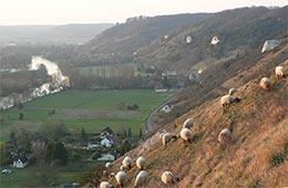 des moutons pour sauver la violette
